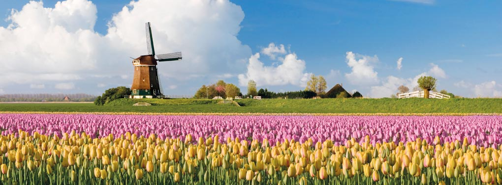 Netherlands tulip field & windmill
